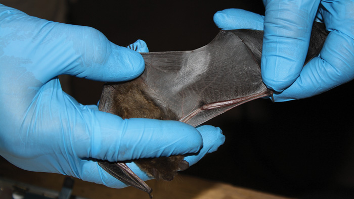 damaged bat wing