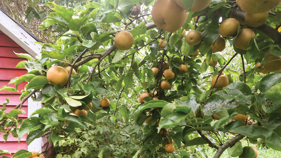 Asian Pears Can Be A Beautiful And Delicious Addition To Your Backyard Gina Barkovitch